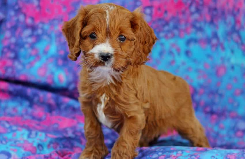 The 10 Best Things About Owning a Cavoodle