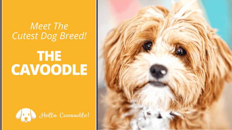 cavoodle cutest dog breed