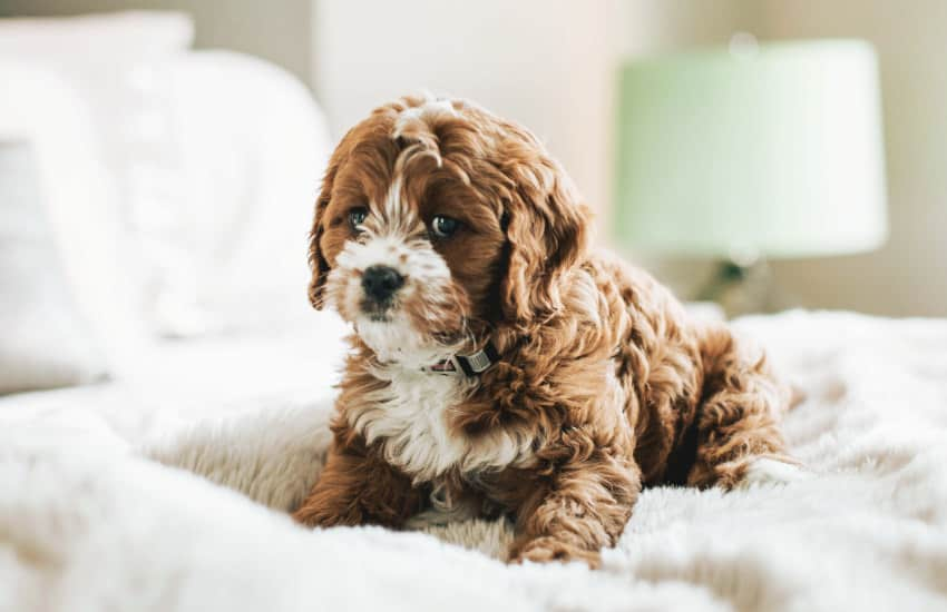 Who is a Cavoodle Best Suited For?