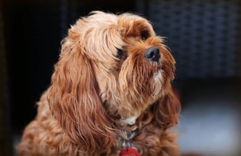 Cute Shaggy Cavoodle