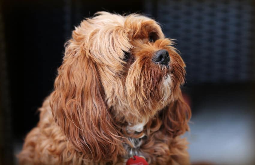Why Should I Get A Cavoodle?