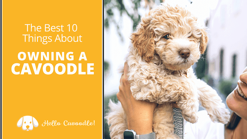 owning a cavoodle