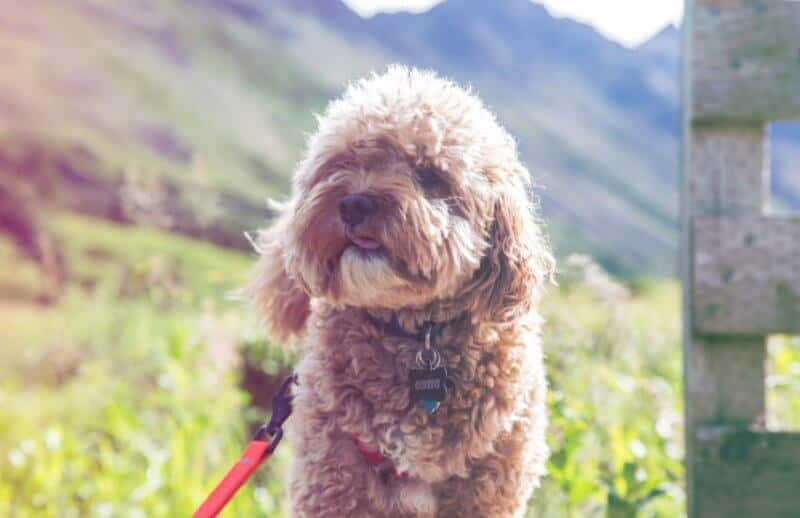 Adult Cavapoo in Fields