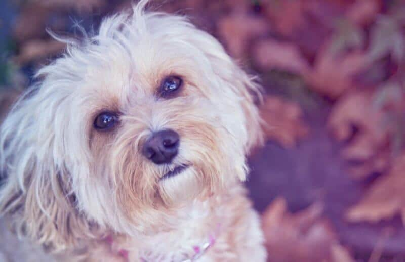 White Adult Cavoodle Dog