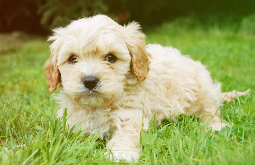 Baby Puppy White Cavoodle