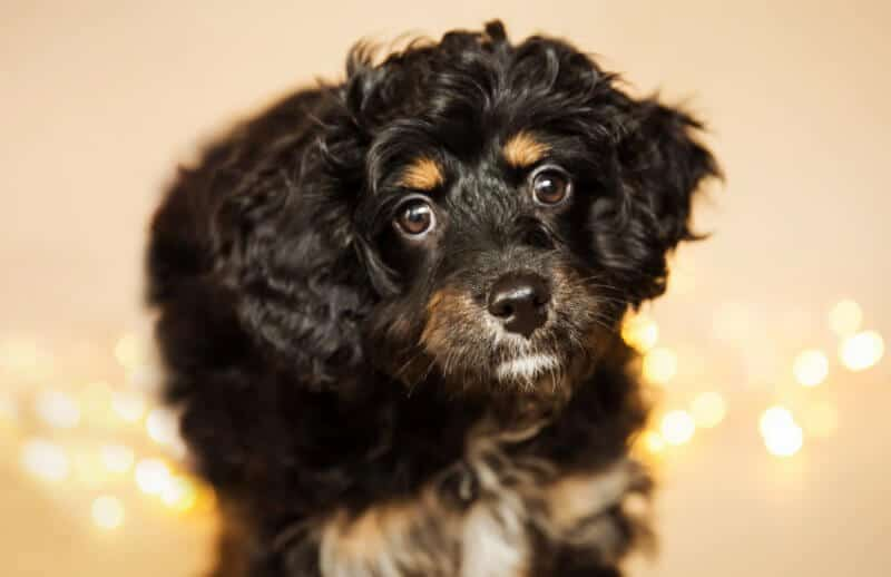 Black and Brown Adult Cavoodle Dog