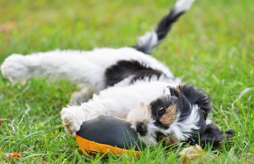5 Incredibly Useful Tips for Cavoodle Owners!