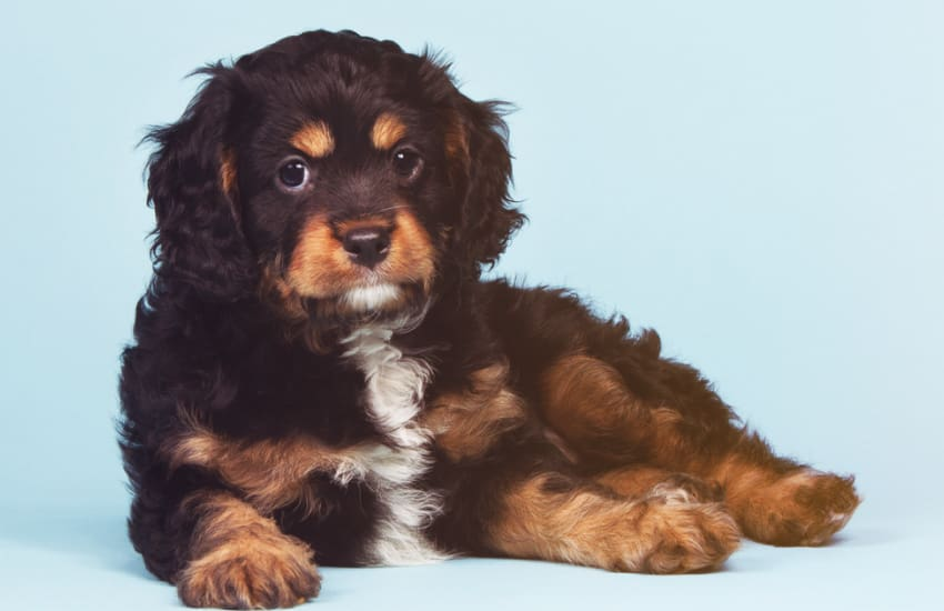 Brown, Black and White Cavoodle