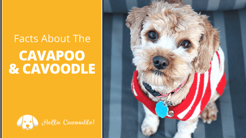 cavapoo cavoodle facts