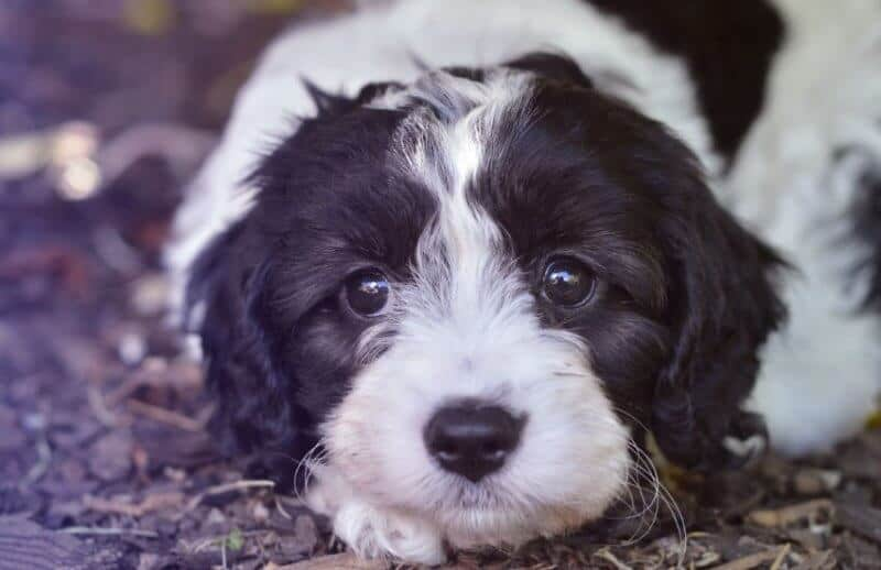 Hello Cavoodle! 🐶 Fun Articles & Facts about Cavoodles and