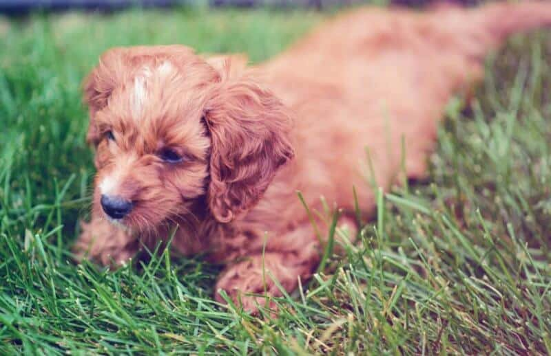 Cavapoo Lying in Grass