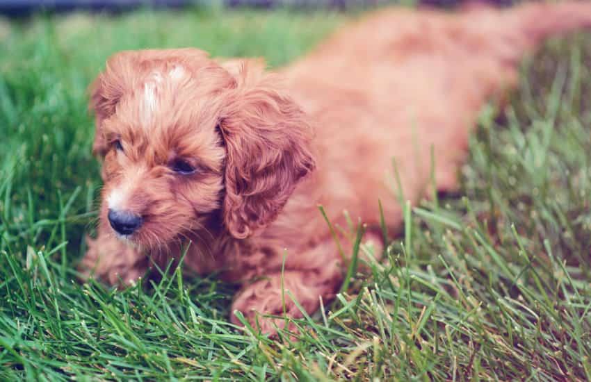 How Fit Does a Cavoodle Owner Need To Be?