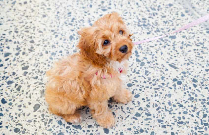 What You Need to Know About Toilet Training Your Cavoodle Puppy