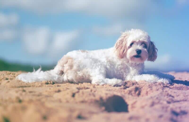 Cavoodle at Beach