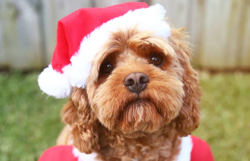 Perfect Gift Ideas For Your Pet Cavoodle