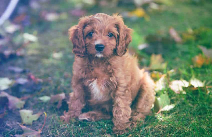 Why More Australians Were Considering a Cavoodle in 2019
