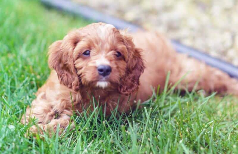 Cavoodle Lying in Grass