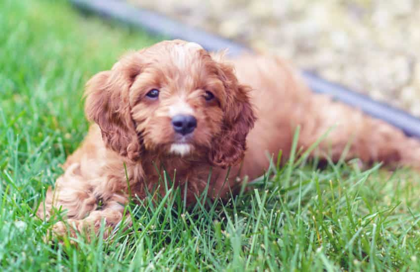 How Much Really Do Cavoodles Bark?