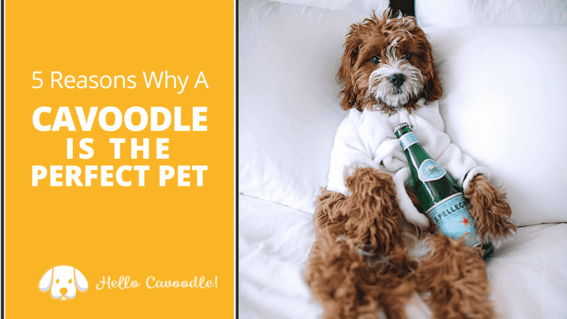 cavoodle perfect pet
