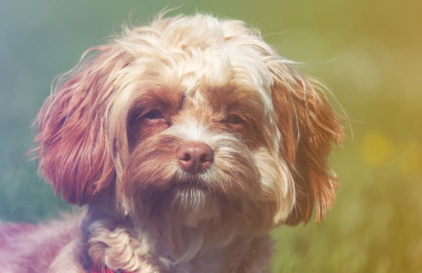 Cavoodle Squinting