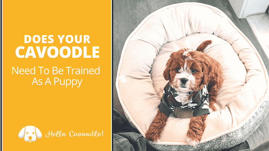 cavoodle trained as puppy