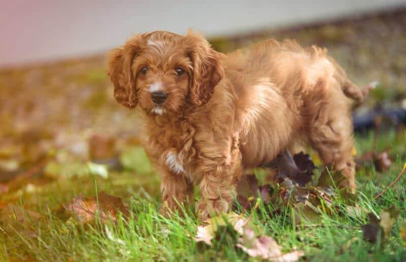 Cute Cavoodle Dog