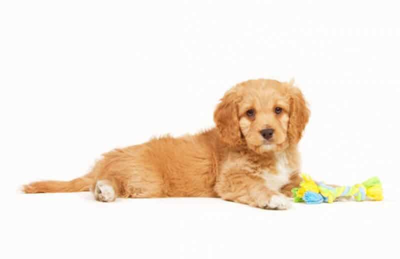 Fluffy Gold Cavoodle Cavapoo