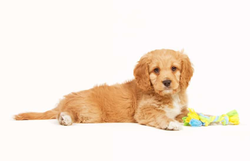 Why You Should Get A Cavoodle In 2020!