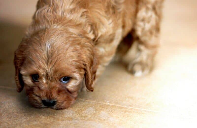 Gold Cavoodle Puppy