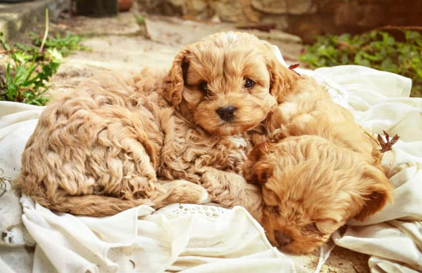 Buying Your First Cavoodle Puppy