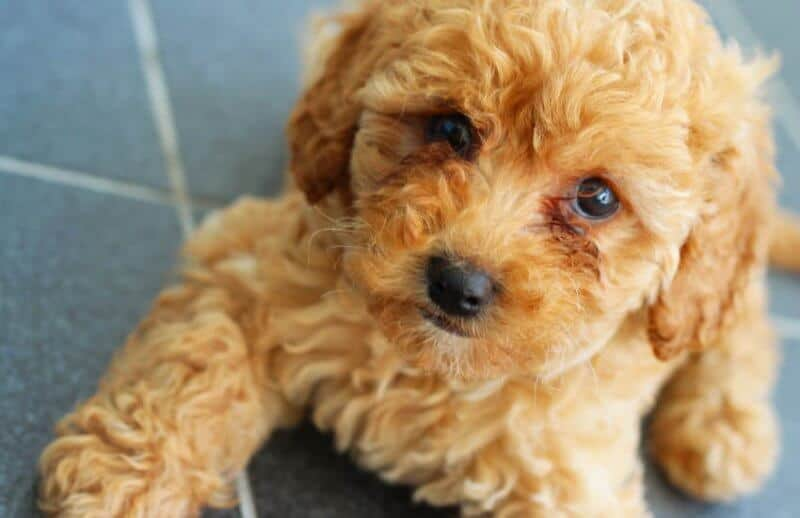 Golden Cavoodle Puppy
