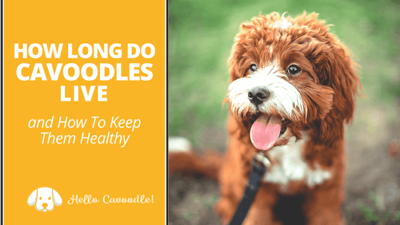 how long cavoodles live