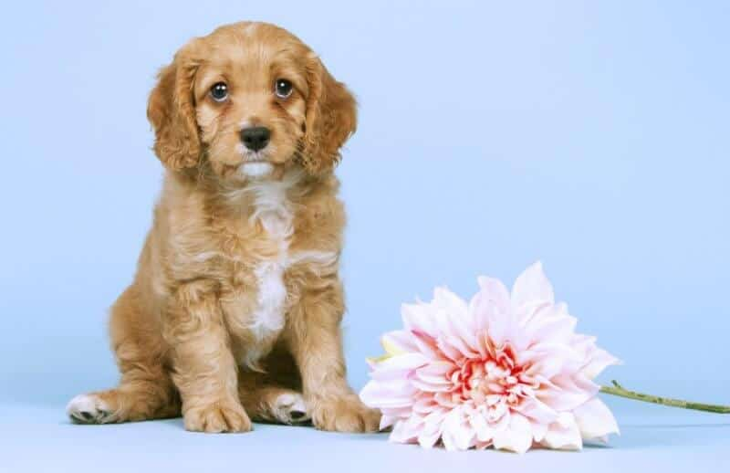 Innocent Cavapoo Cavoodle