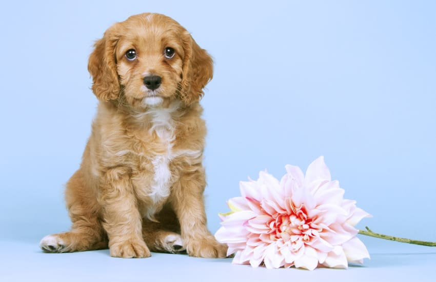 5 Easy Reasons Why a Cavoodle is the Perfect Pet!