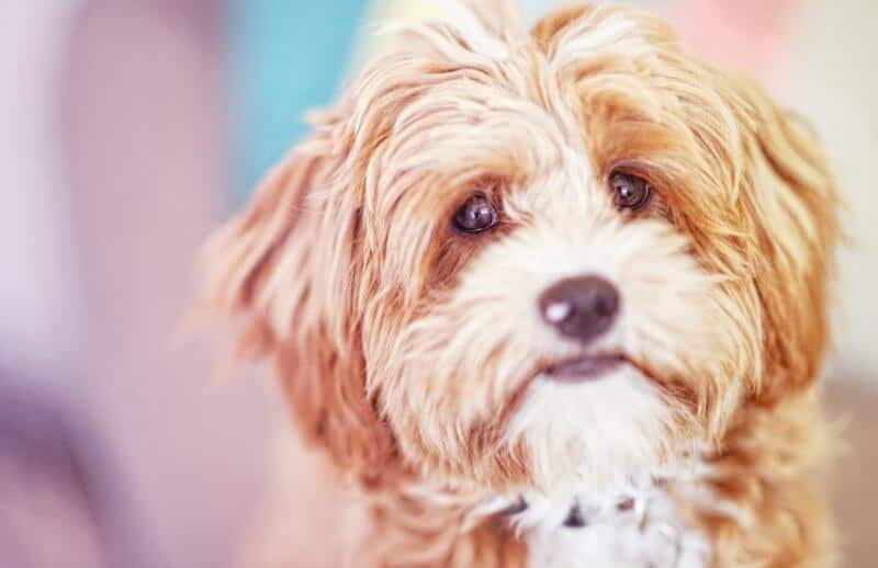 Innocent Cavoodle / Cavapoo Dog