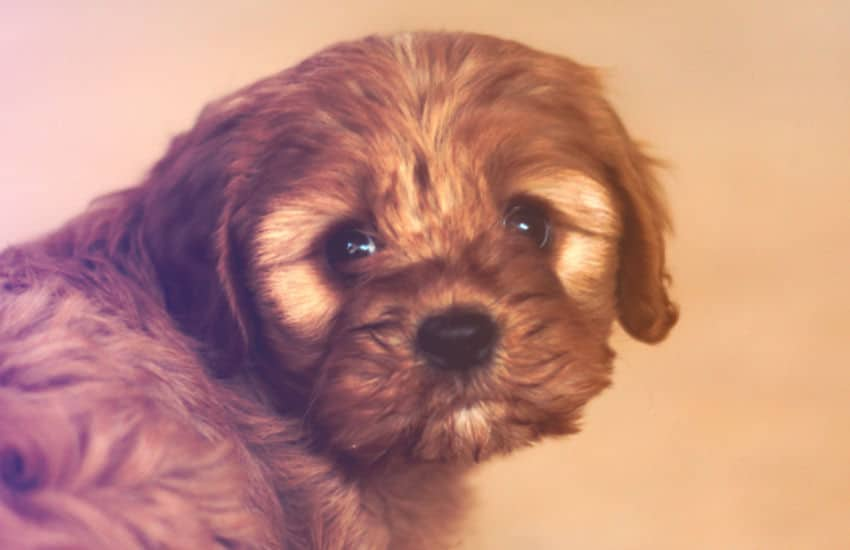Does Your Cavoodle Need to Be Trained as a Puppy?