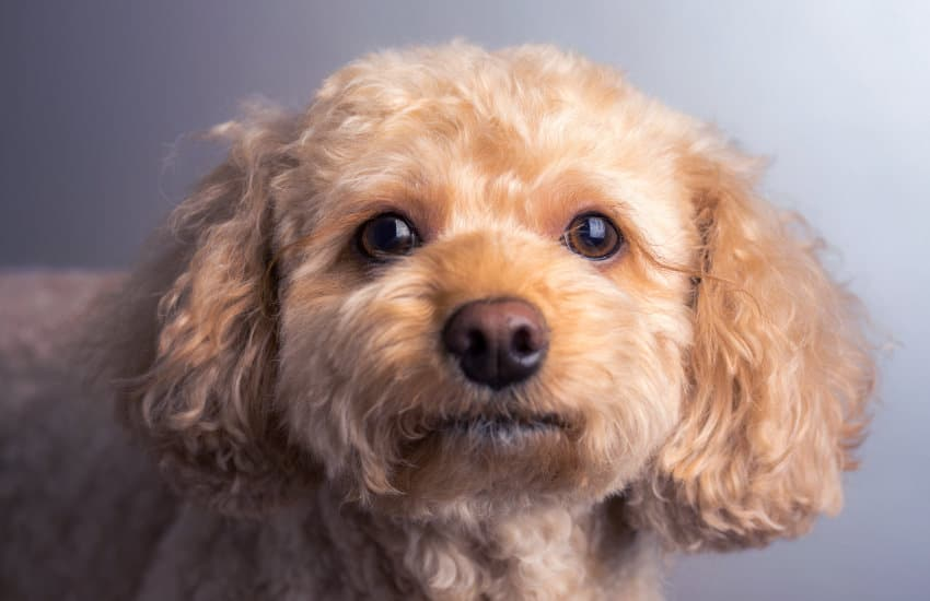 Poodle Breed Cavoodle Cavapoo