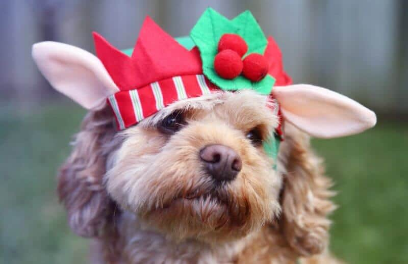 Cavoodle Puppy at Christmas