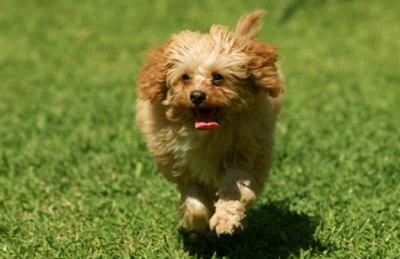 Running Cavoodle Dog Park