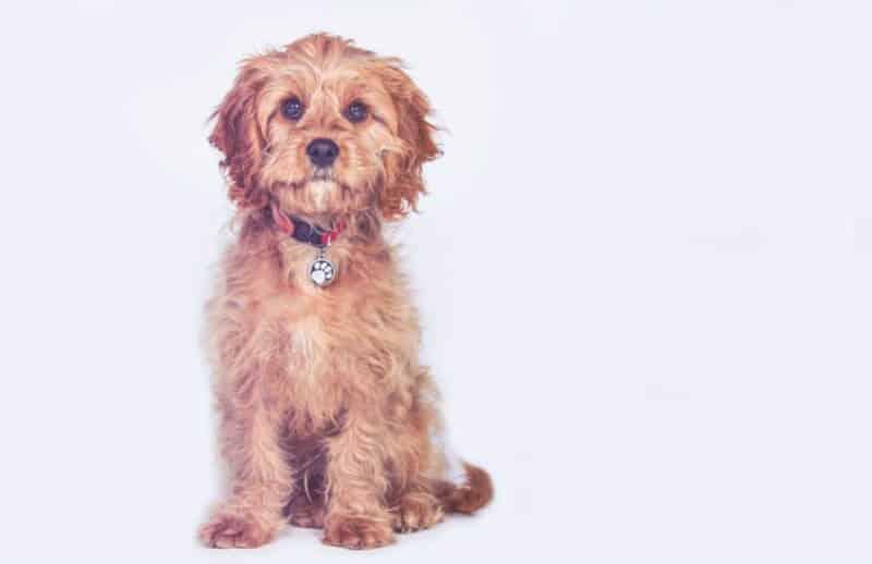 Scruffy Cavoodle Dog