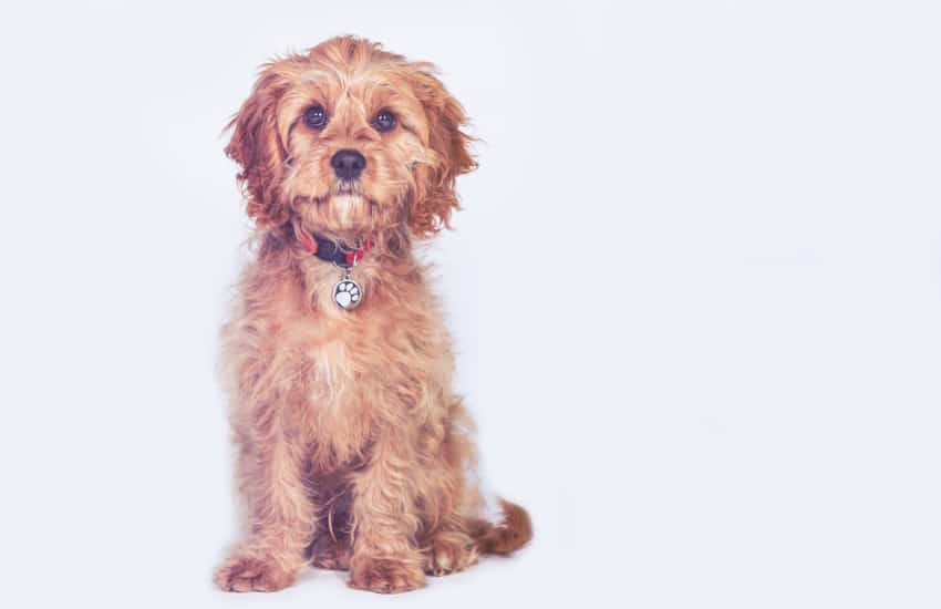 How to Groom Your Cavoodle