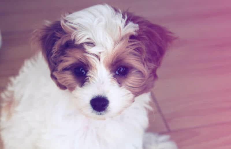 White and Brown Cavoodle