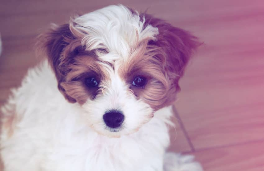 Where And How to Buy a Cavoodle puppy!