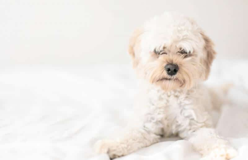 White Cavapoo Dog