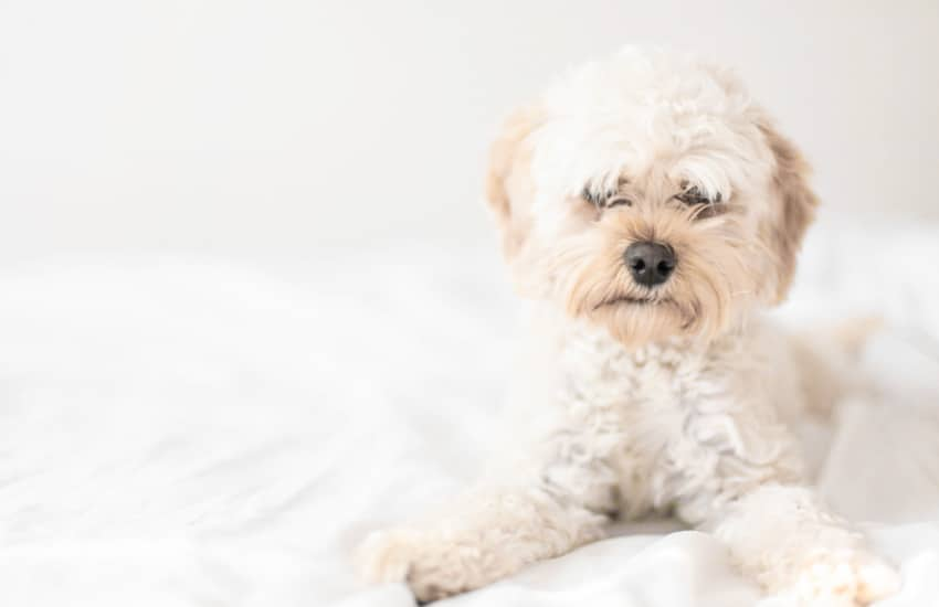 Why Are There So Many Cavoodle Breeders in Victoria?