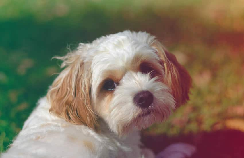 What is a Cavoodle's Temperament Like?