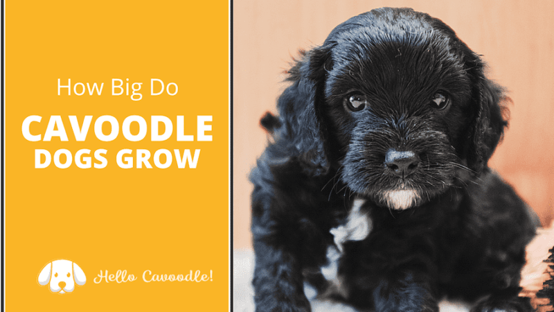 how big cavoodles grow