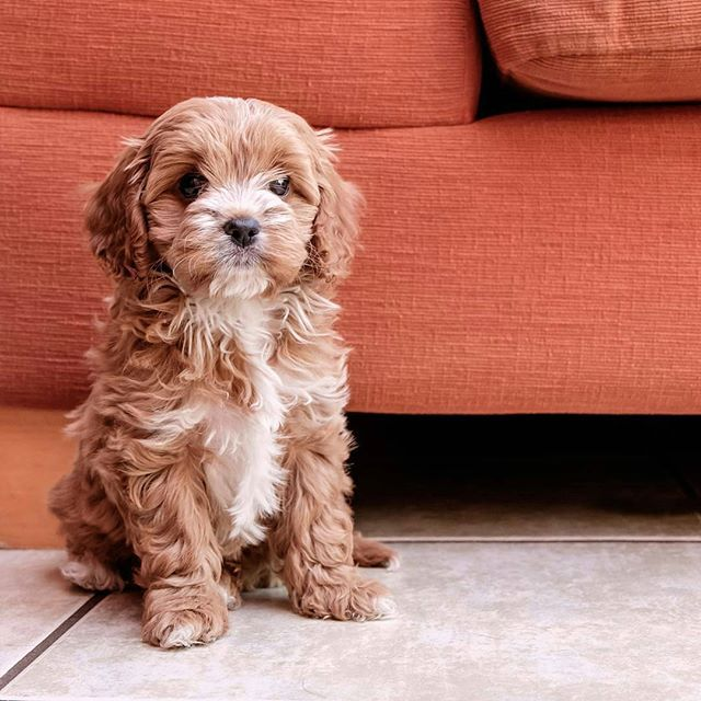 Cavapoo Puppy Lounge