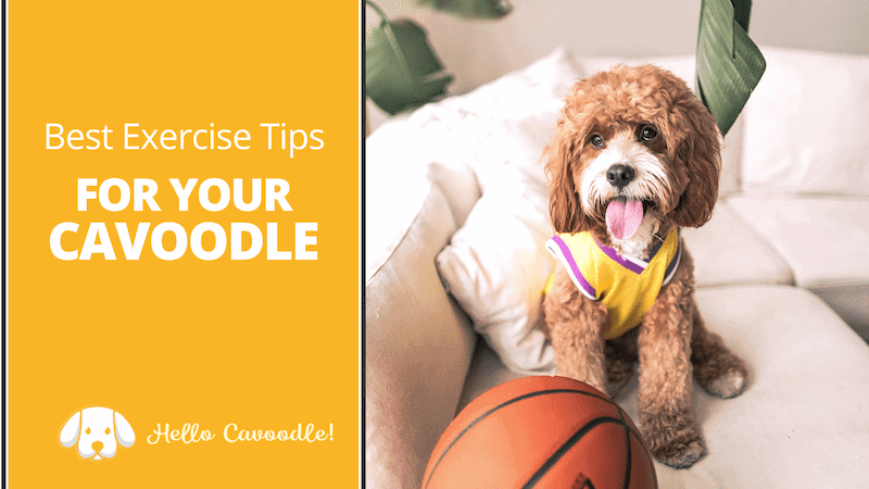 cavoodle exercise tips