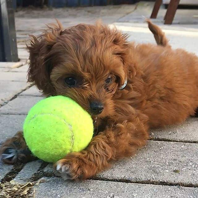 Cavapoo Cavoodle puppy ball